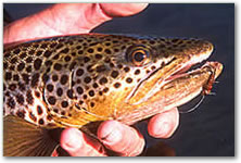 Nice brown trout are found in the smaller streams once they leave the Wind Rivers.