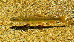 Cutthroat trout are a Wind River fly fishing highlight.